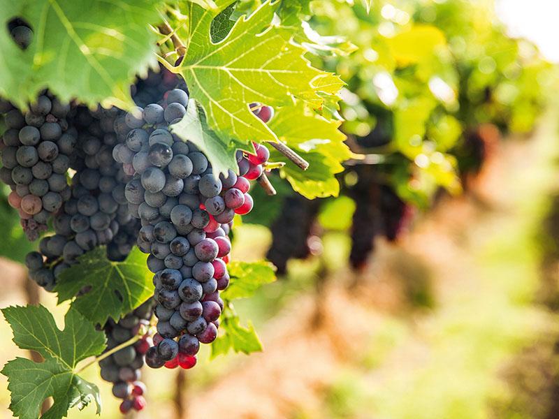L'innovazione nel settore vitivinicolo attraverso i Gruppi Operativi. L'analisi sul sito Pianeta PSR